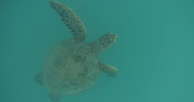 Sea Turtle at Wai'anae
