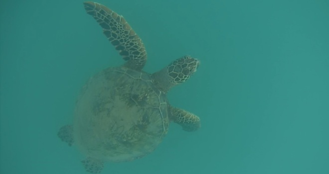 Sea Turtle at Wai'anae